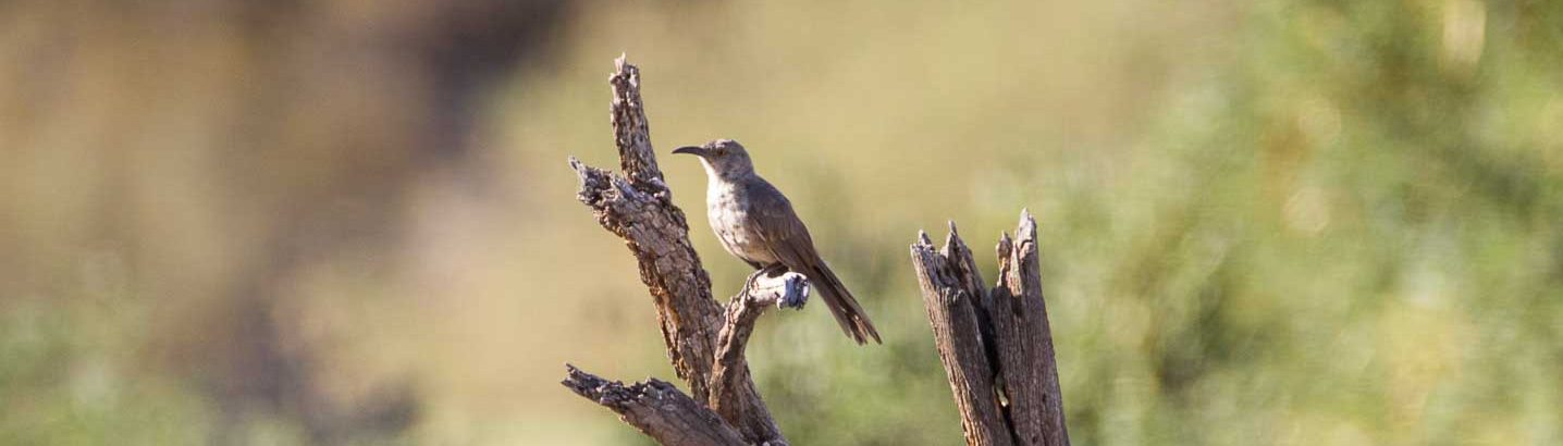 Curved-billed Thrasher-8057